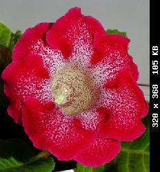 Семена глоксиний почтой T23922_