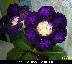Семена глоксиний почтой T19133_01