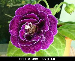 Семена глоксиний почтой T19135_01
