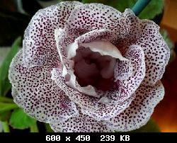 Семена глоксиний почтой T23918_