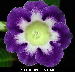 Семена глоксиний почтой T23919_