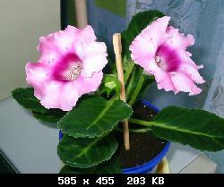 Семена глоксиний почтой T19134_F101