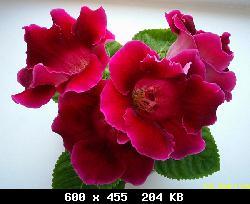 Семена глоксиний почтой T29562_iaeeiiaay-aaaioe-f1.-siiy-02