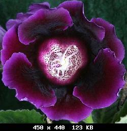 Семена глоксиний почтой T29563_ie-taeiedea